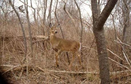 A deer was seen on Grape Island.